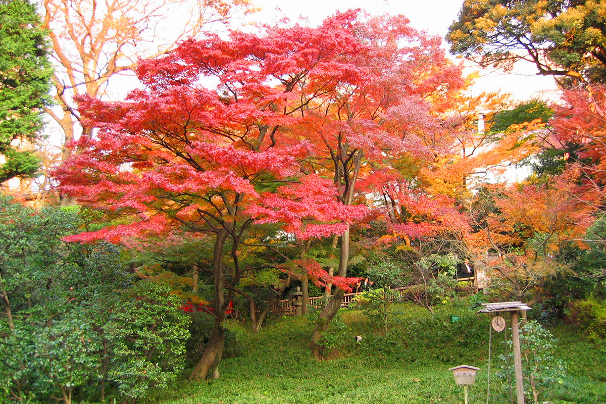 A Japanese maple tree with beautiful red leaves in a park at Chinzan-so in Japan.