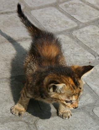 China Kitten
