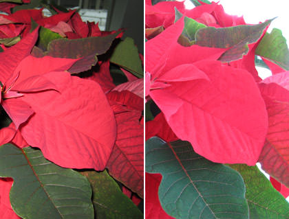 Pointsettia Flash