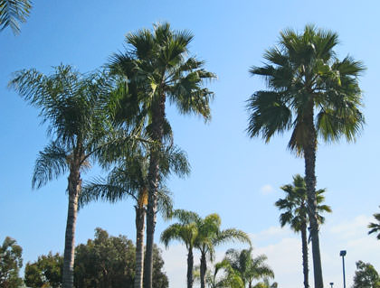 Not-So-Wild Palms