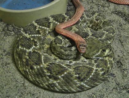 Snake on Snake Action!