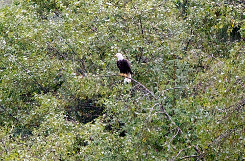 American Bald Eagle in a Tree