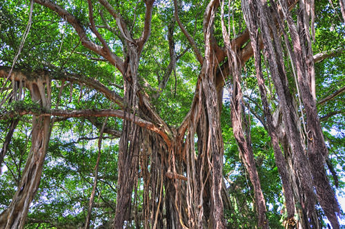 Banyan Tree HDR Photo