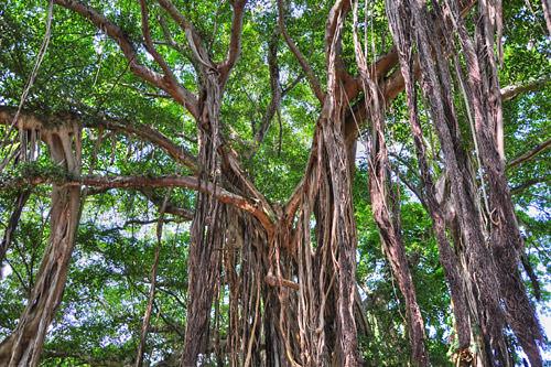 Banyan Tree HDR Photo