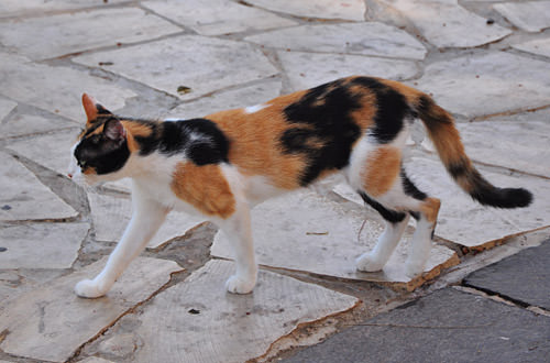Valletta Cat