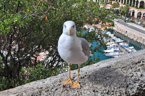 Seagull in Monaco