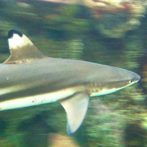 Shark Reef Shark