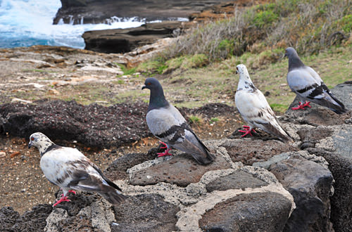 South Shore Pigeons