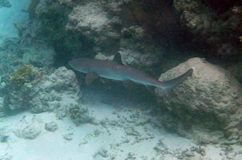 Reef Sharks!