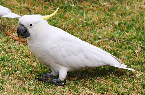 Bastard Cockatoo