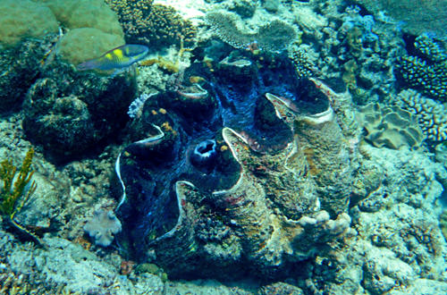 Giant Mollusk