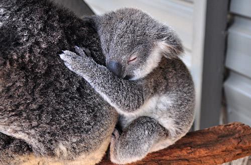 Sleepy Baby Koala