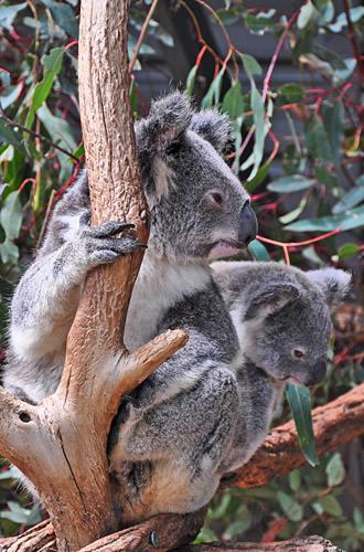 Koala Pair