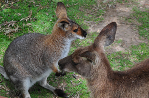 Kangaroo and Wallaby