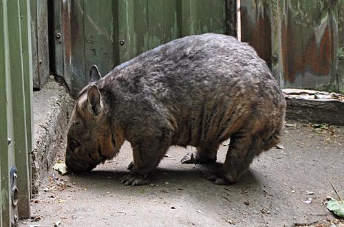 Chubby Wombat