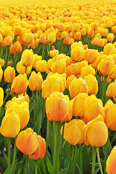 Bulb Fields Yellow Tulips