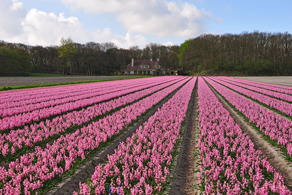Bulb Fields Pink Hyacinth