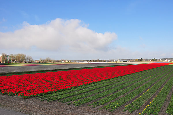 Red Tulips Fields