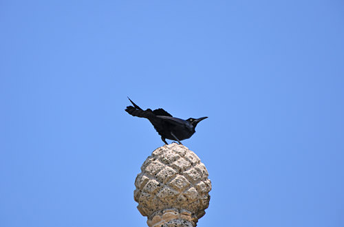 Random Crow in Cartegena