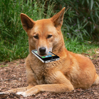 A Dingo Ate My iPhone!!