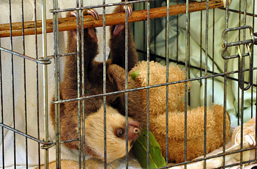 Baby Sloth with Teddy Bear