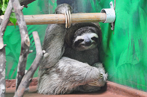 Adult Sloth Hangs Out