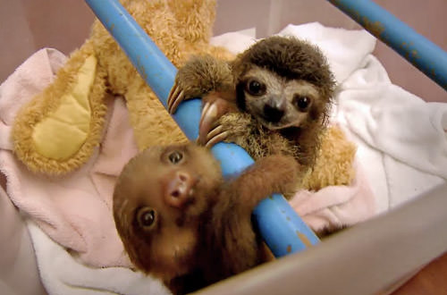 Baby Sloths Hanging Around