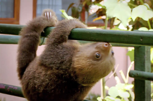 Baby Sloth Goes for a Walk!