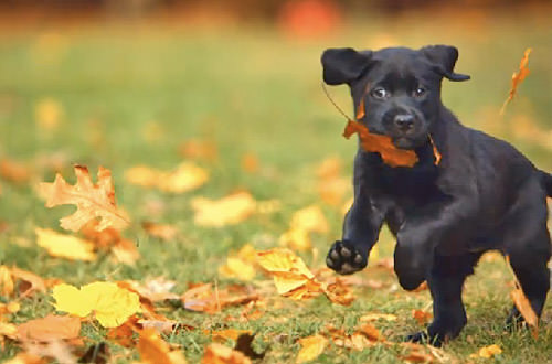Puppy Running Through Leaves!