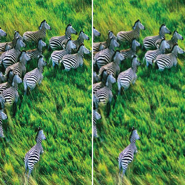 Retina Zebras
