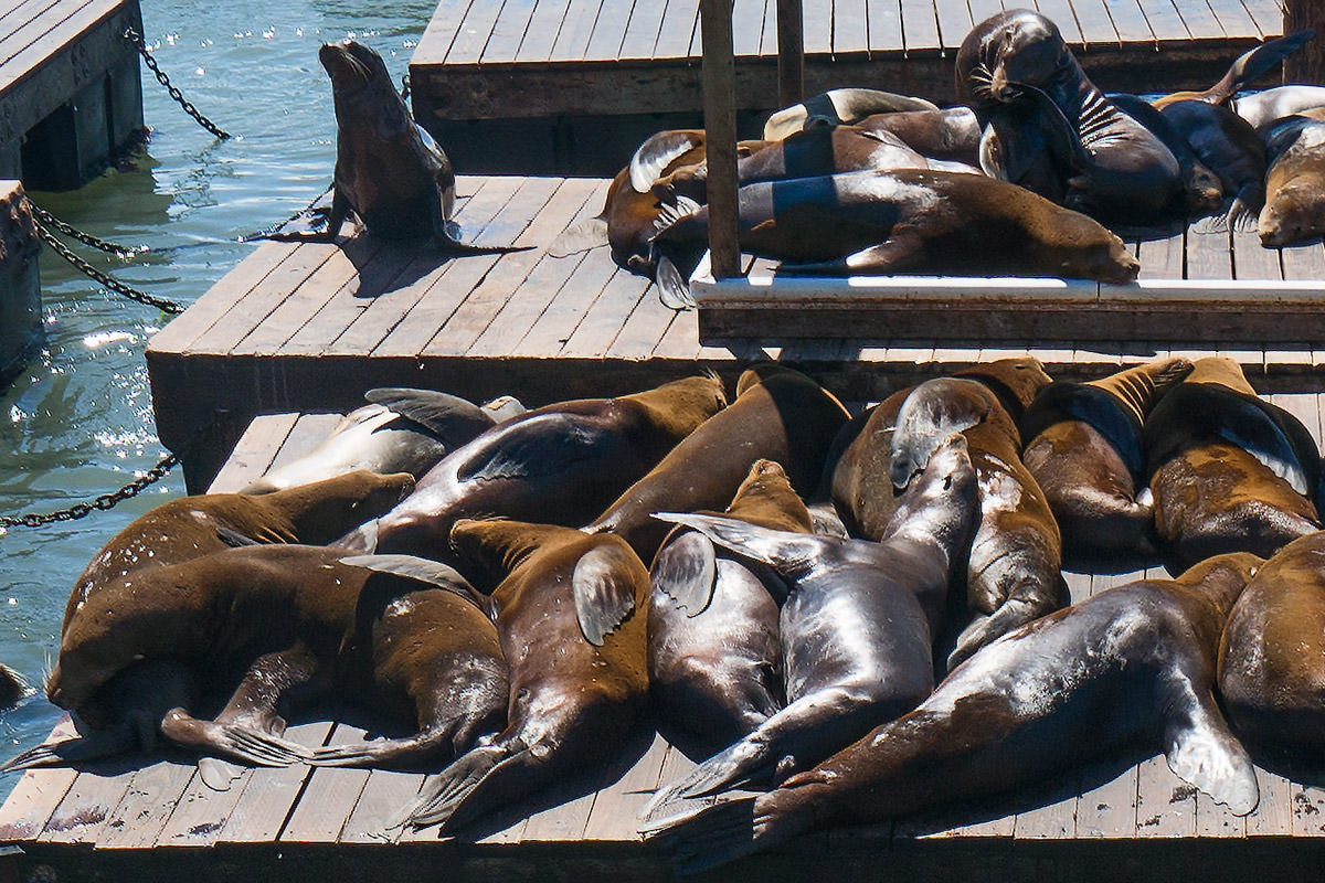 Sea Lions Sunning in San Francisco