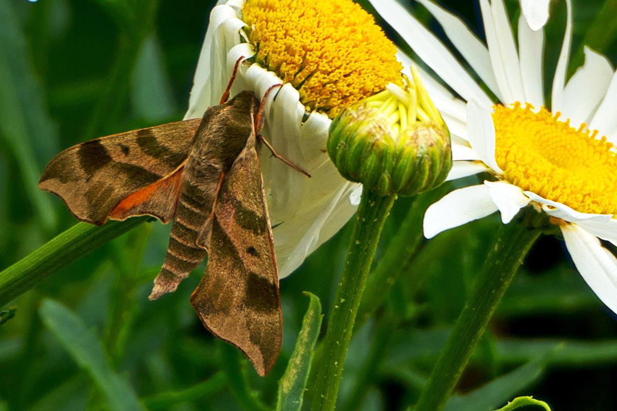 Sleepy Moth
