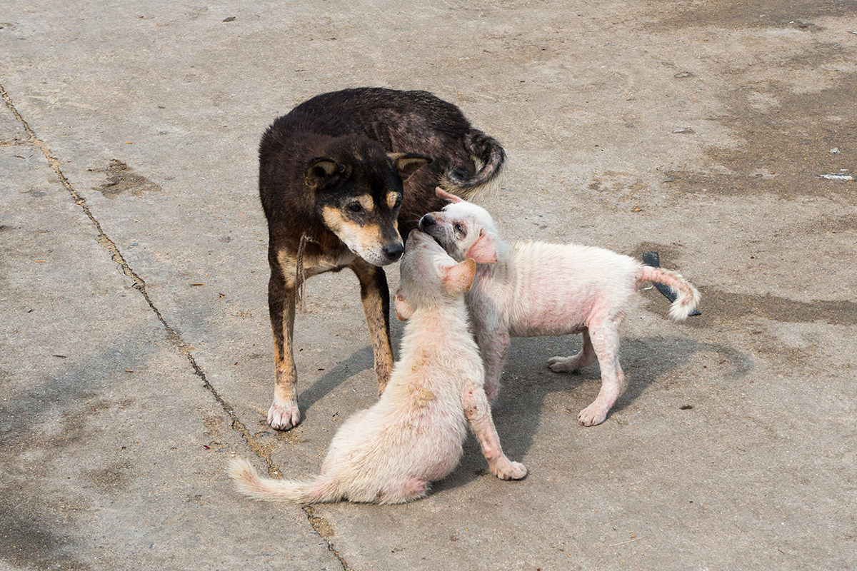 Vietnam Doggies