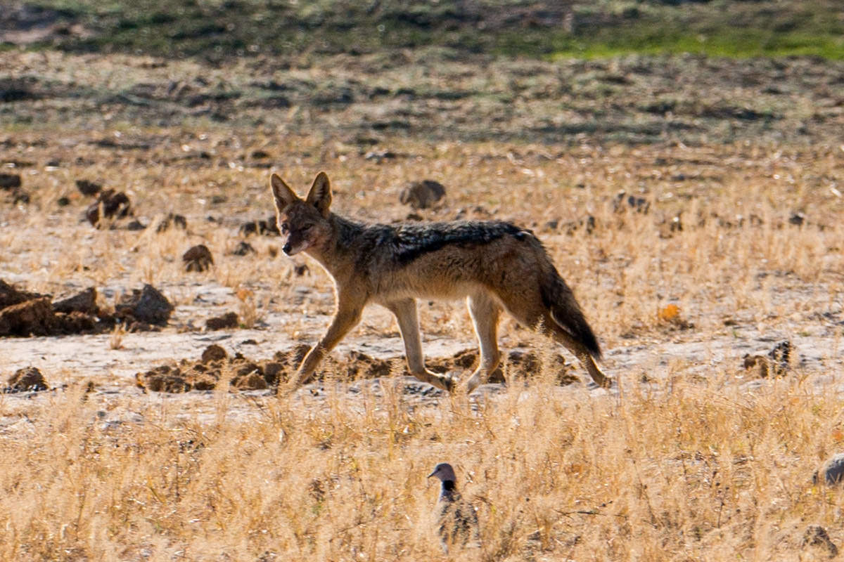 Hwange Black-Backed Jackal