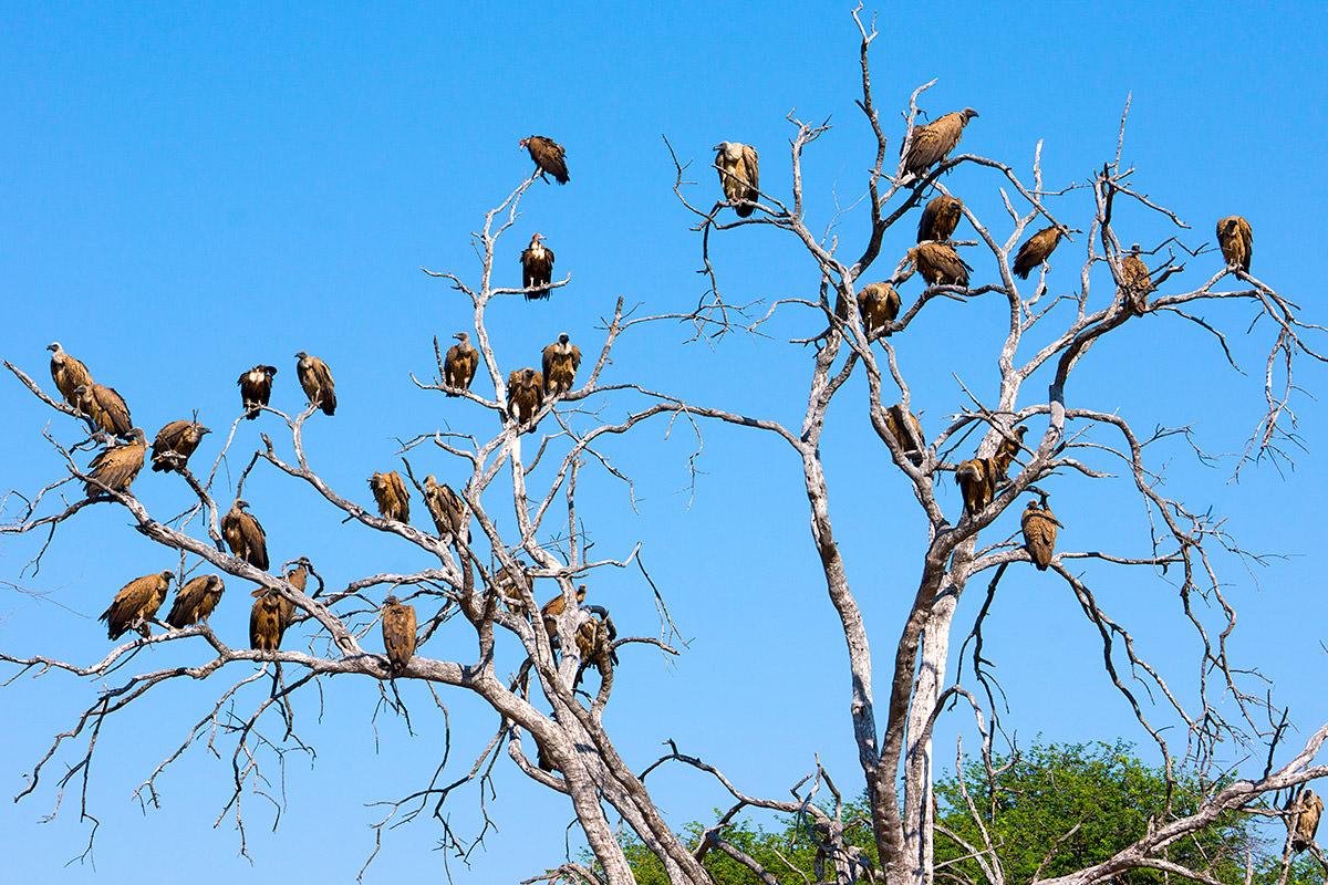 Hwange Vultures