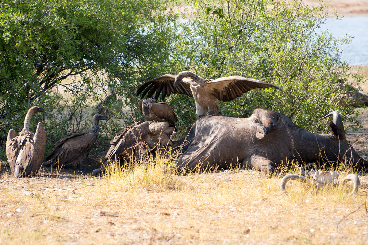 Hwange Vultures on a Water Buffalo