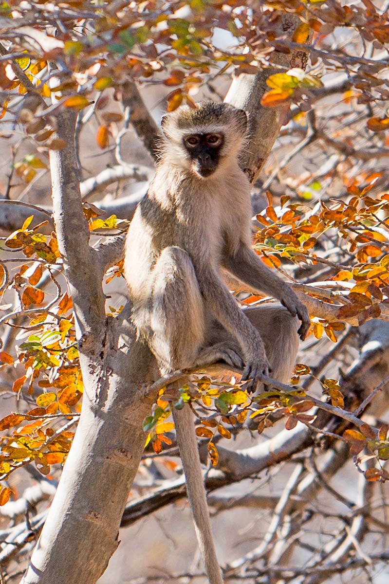 Hwange Monkey
