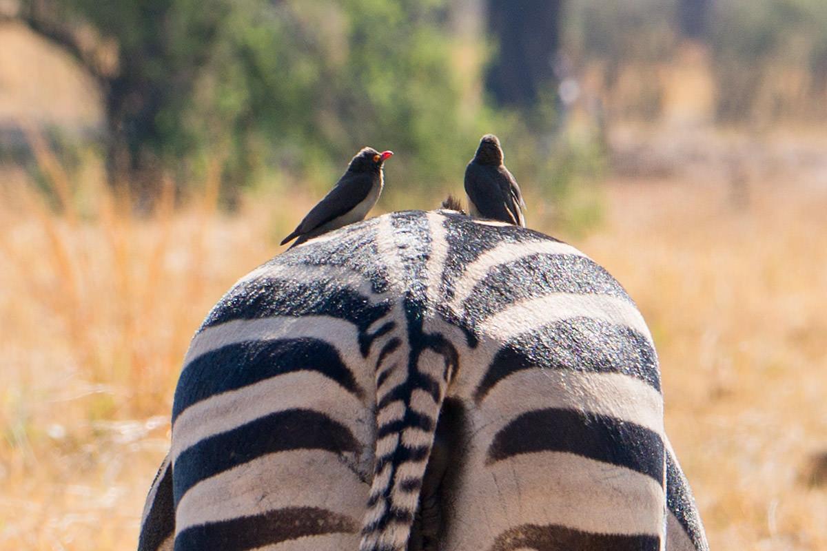 Hwange Zebras