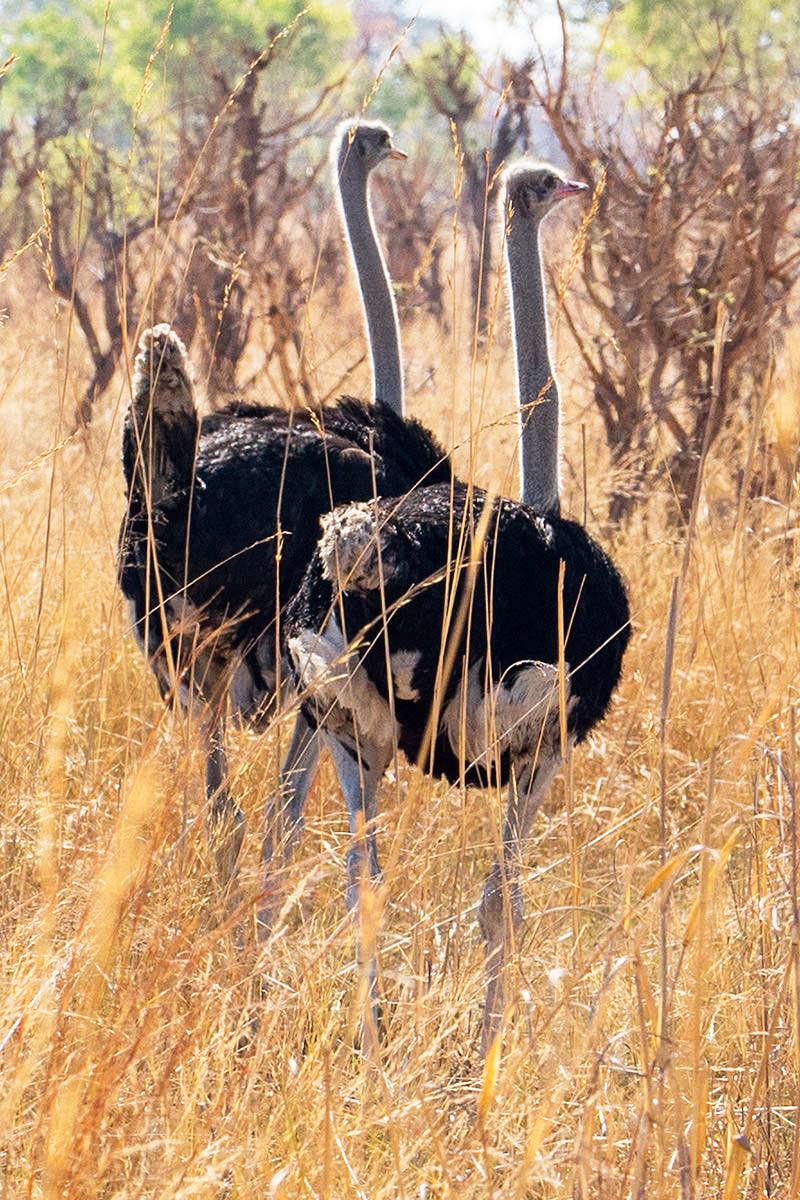 Hwange Ostriches