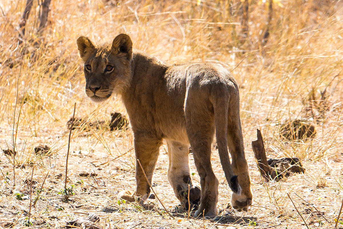 Hwange Lion Cub Goodbye