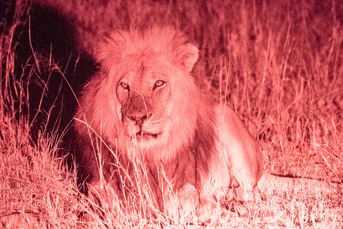 Hwange Lions at Night