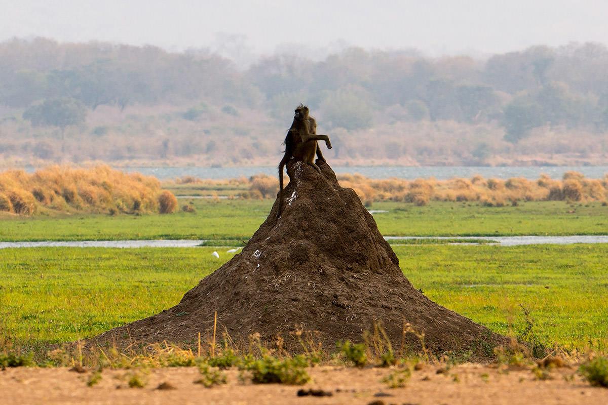 Baboon in Zimbabwe