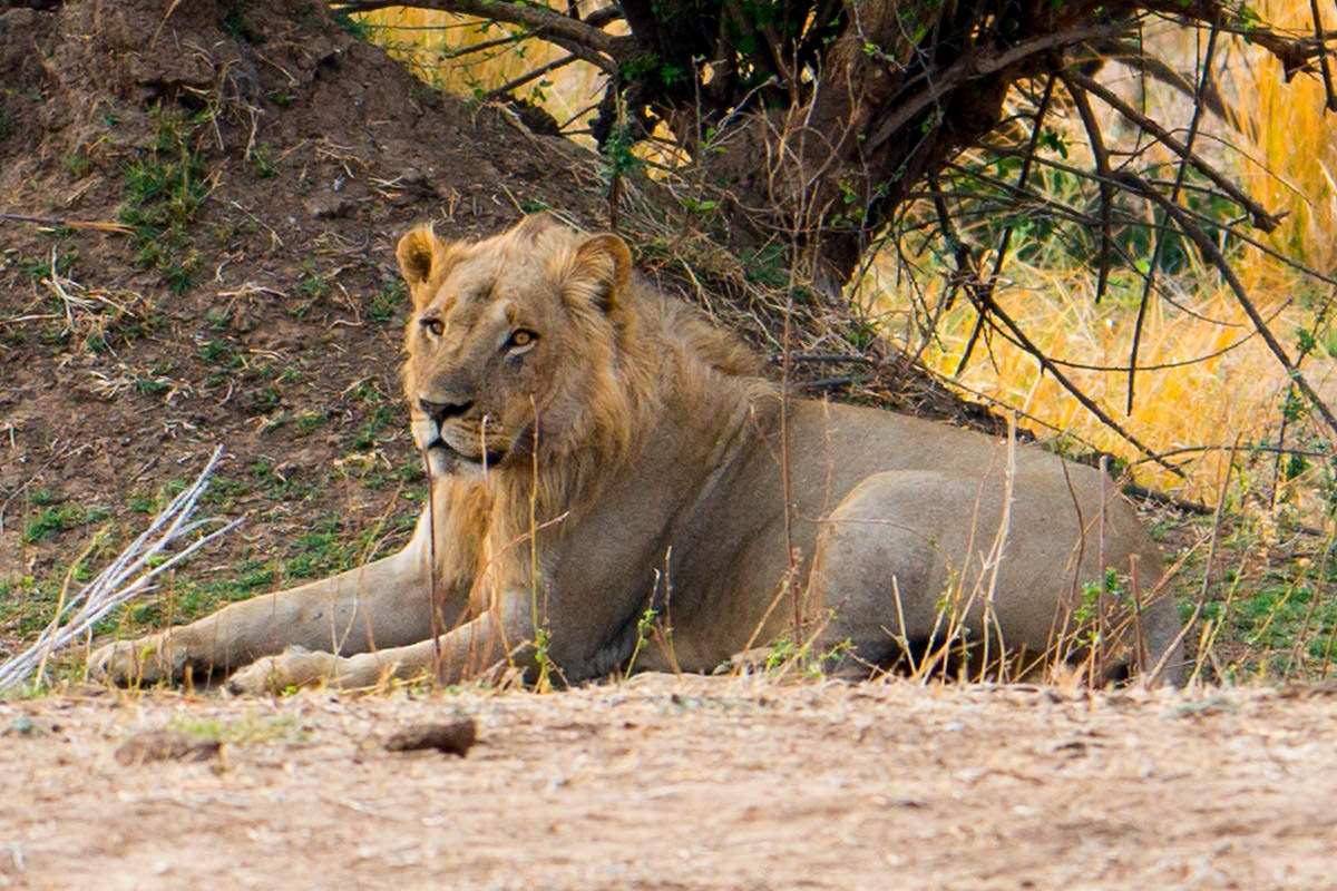 Lion in Zimbabwe