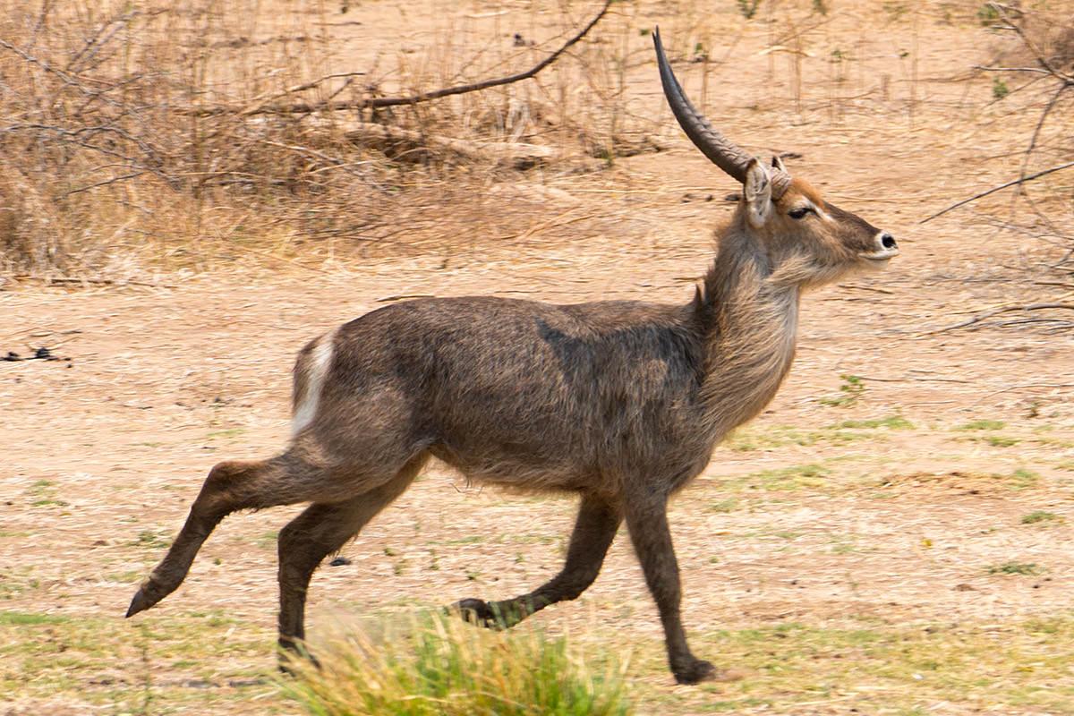 Antelope!
