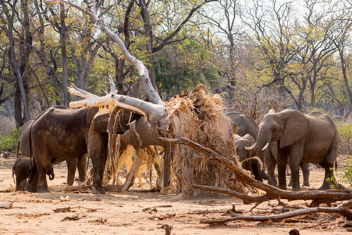 Elephants Destroy a Tree!