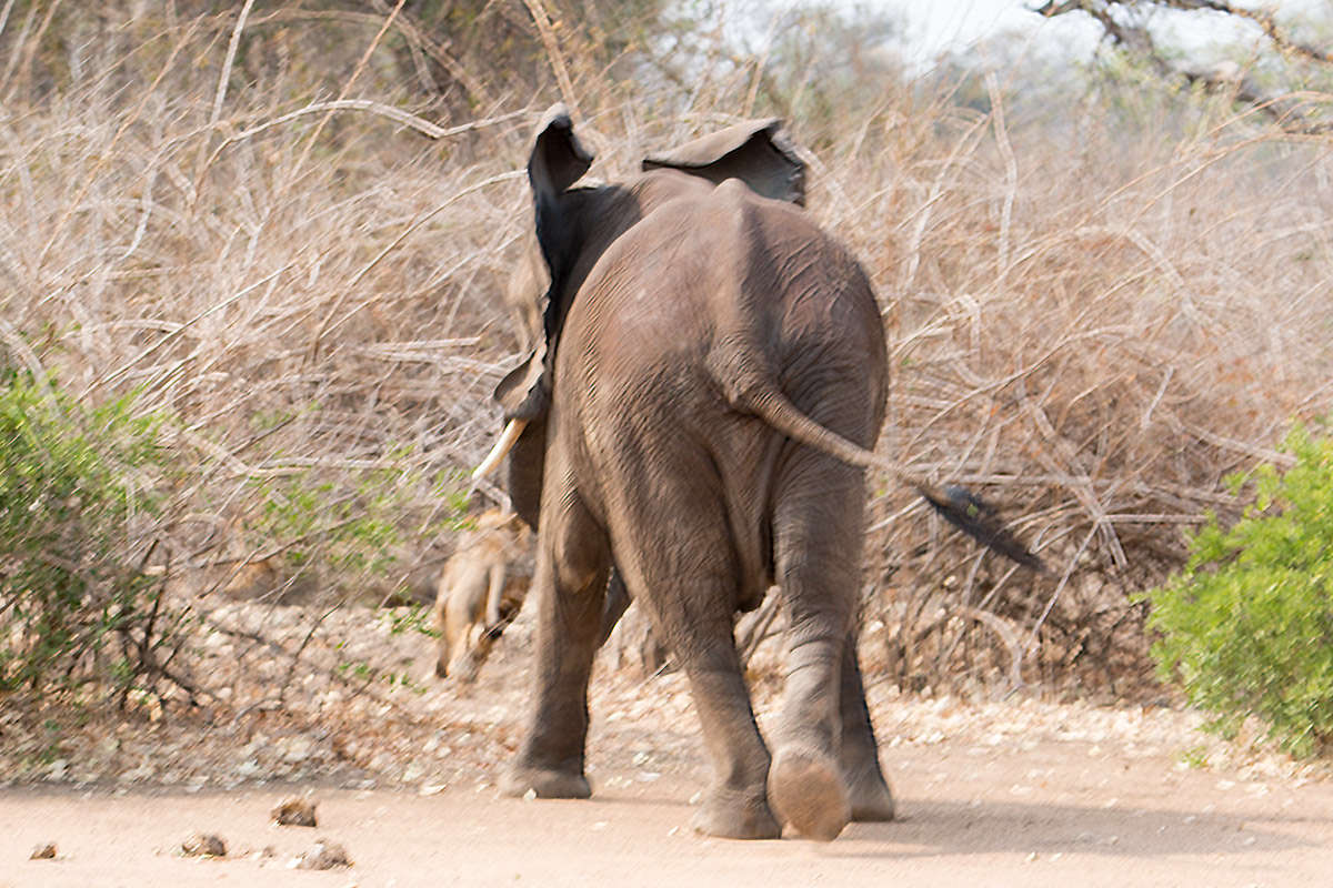 Elephant Chasing Lions!