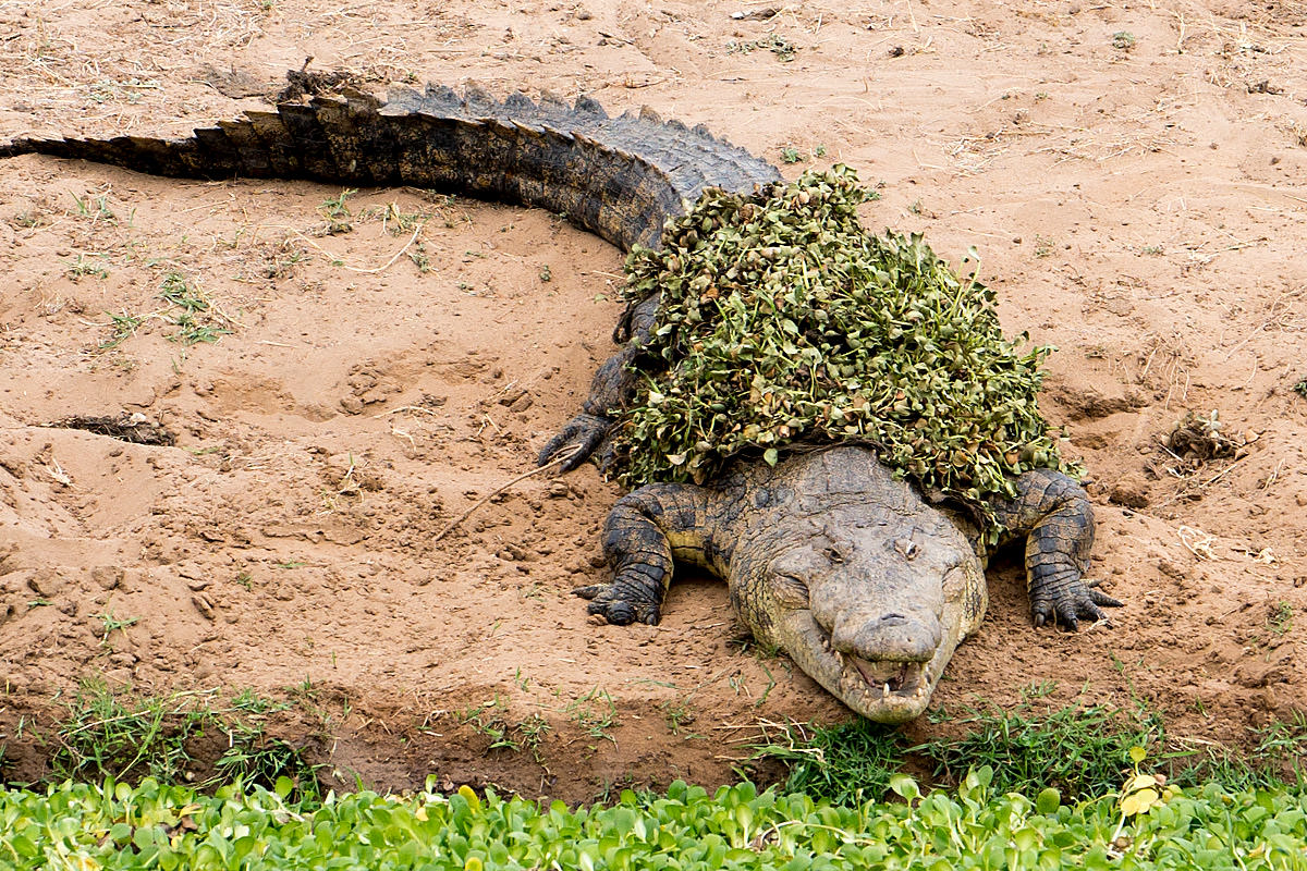Crocodiles of Zimbabwe
