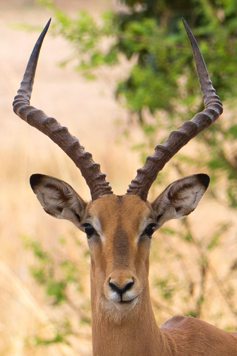Impala Alpha Male