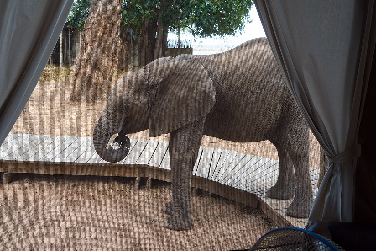 Elephants at my Tent!