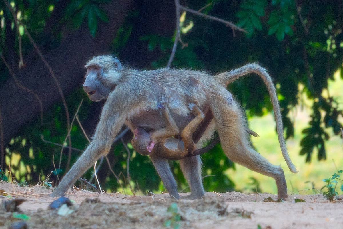 Baboons!